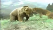 نبرد شیر و خرس کدام برنده میشود؟
