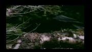 حمله سیاه گوش به کلاغ