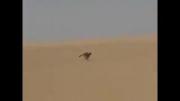 عرب سنگدل وحشی و استفاده از یوزپلنگ برای گرفتن غزال
