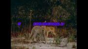 مستند حیات وحش دیدنی حسین جگوار دیدنی