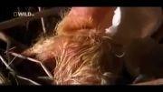 مستند زیبای نبوغ کبوتران (بخش سوم)