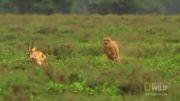 شكار غزال افریقایی توسط چیتا