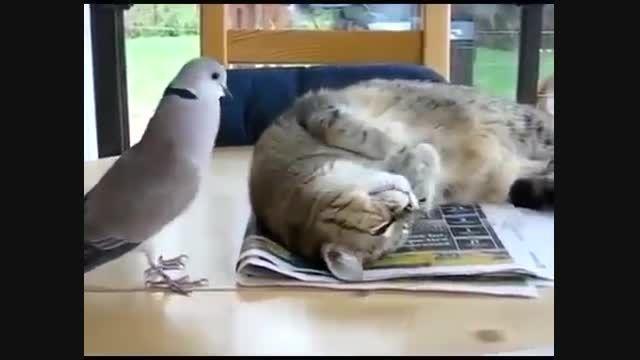 دوستی گربه و قمری این قمری برای گربه آواز می خواند