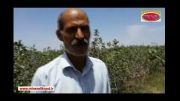افزایش باردهی و زودرس شدن محصول باغ پسته - استان کرمان