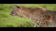 شکار موش صحرایی توسط گربه وحشی bobcat