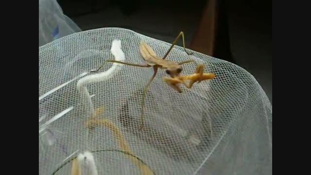 نحوه غذا خوردن مانتیس با حشره آخوندک Mantis eats