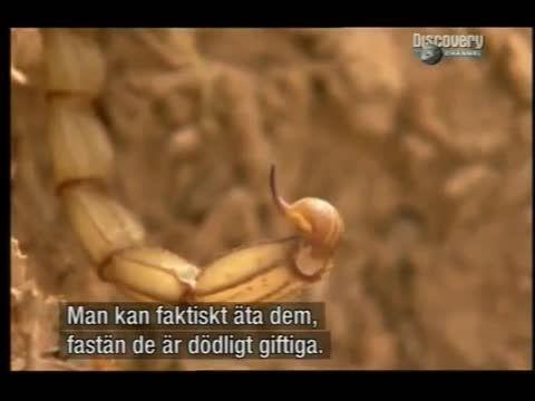 روش گرفتن عقرب و خوردن عقرب زنده Scorpions