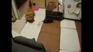 گربه ای که از موش می ترسد