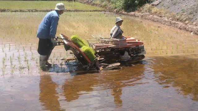 نشاء مکانیزه برنج در استان قزوین