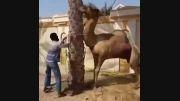سر بریدن شتر.وگاز گرفتن سر ادم