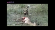 زنده خوردن اهو توسط سگ افریقایی (حتما ببینید)
