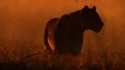 پایان زندگی یک شیر نر (غم ناک) HD