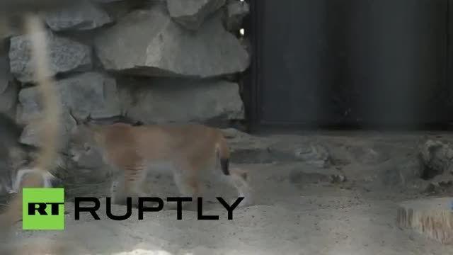 به فرزندی گرفتن گربه وحشی توسط یک گربه خانگی