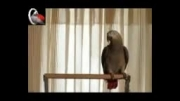 بهترین طوطی سخنگوی ایران