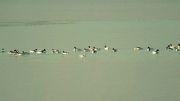 مستند پرندگان مهاجر