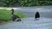 تلاش كلاغ برای دزدیدن جوجه اردك