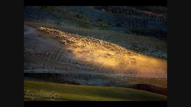 تصاویر بسیار زیبا از چرای گوسفندان در مزارع ایتالیا