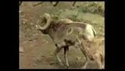 شكار  توسط شیر سطلان جنگل