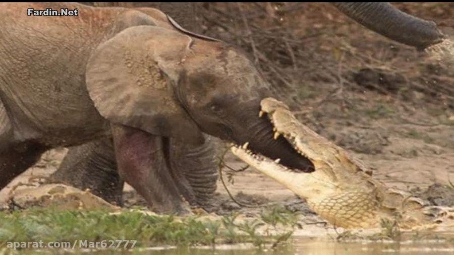 حمله کروکودیل به بچه فیل