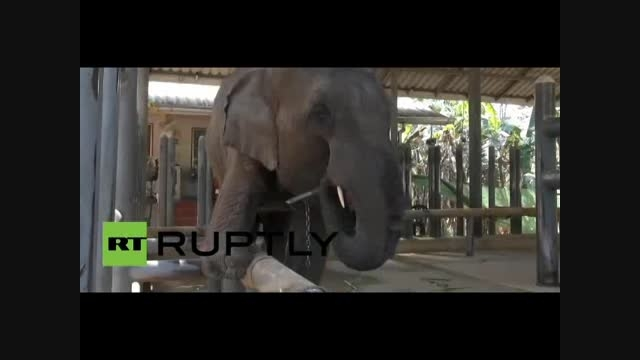 پای مصنوعی برای فیل معلول !!
