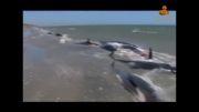 خودکشی دسته جمعی نهنگها !!!