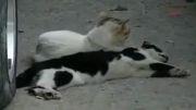 تلاش گربه برای زنده کردن عشقش