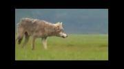 مزاحمت گرگ برای خانواده خرس ها