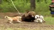 حمله سگها به خرس قهوهای خسته