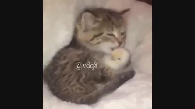 محبت کردن گربه به جوجه