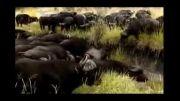 شیری که توسط گاوهای افریقایی کشته می شود