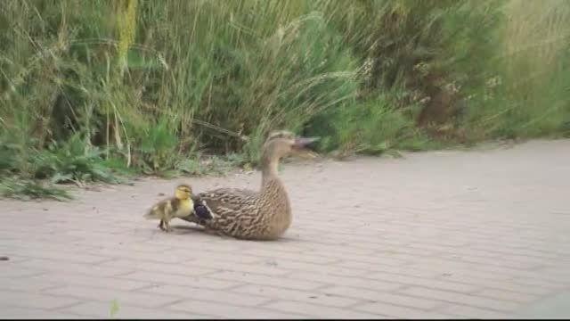 نجات جوجه اردک ها توسط آتش نشانان مرکز اسلواکی