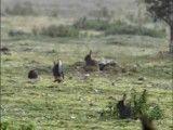 شکار خرگوش توسط یک راسوی کوچک(قاقم)