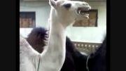 شتر غیرطبیعی!!