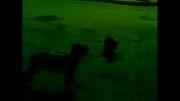 محاصره گربه توسط سگ های ولگرد