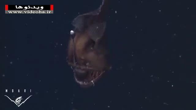 نخستین تصاویر از ماهی عجیب و ترسناک Anglerfish