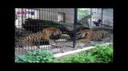 نبرد ببرها در باغ وحش