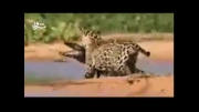 این پلنگ کوروکدیل شکار می کند!!!