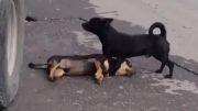 تلاش سگ برای زنده کردن دوستش ولی نمیدونه اون مرده
