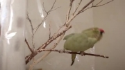 رقص زیبای طوطی ملنگو