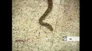 نمایشگاه مارهای سمی و غیرسمی فلات قاره در یزد......