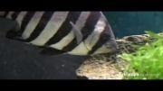 ماهی ژاپنی دوسال بعد از سونامی به آمریکا رسید