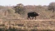 درگیری تمام عیار شیر و گاو و تمساح با هم!