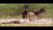 شیر هایی که الاغ شکار می کنند!!!