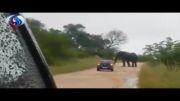 فیلم+حمله فیل به خودرو توریستها در آفریقای جنوبی
