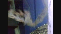 ماهی که تو آینه خودش را میبینه و عکس العمل نشون میده
