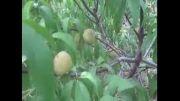 دارابکلا - شلیل سبز یا همان پشمالی محلی