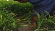 کشت برنج در استان کردستان توسط آقای رجائی و صادق پور