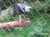 بزرگ ترین و قوی ترین عقاب دنیا(عقاب هارپی)