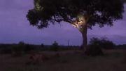 رفتن شیر به بالای درخت برای صرف شام رایگان