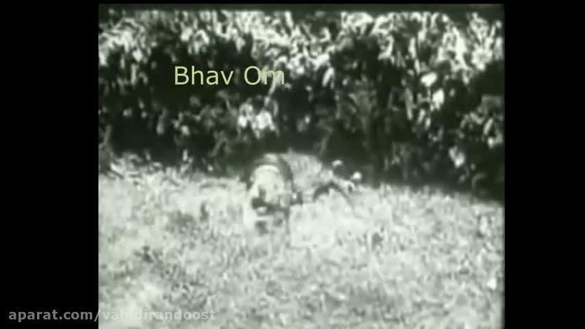کشته شدن ببر بنگال بدست مار پیتون
